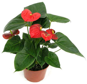 Anthurium, assorted