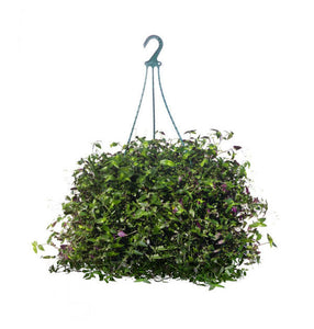 Bridal Veil hanging basket 8""