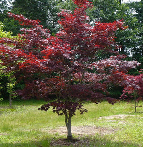 Acer palmatum (Japanese Maple) 'Bloodgood' 7 gal 3-4'