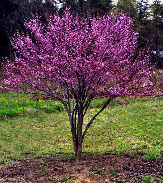 Cercis canadensis (Eastern Redbud) 10-12'