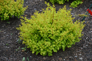 Berberis thunbergii WorryFree® Lemon Glow®(Non-Invasive Barberry) 2gallon