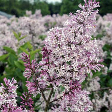 Load image into Gallery viewer, Syringa pubescens subsp. patula 'Miss Kim' (Miss Kim Lilac) 3 gallon