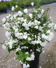 Load image into Gallery viewer, Philadelphus 'Snowbelle' (Mock Orange) 3 gallon