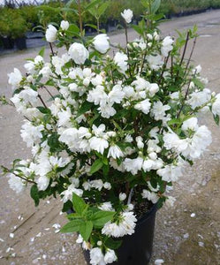 Philadelphus 'Snowbelle' (Mock Orange) 3 gallon