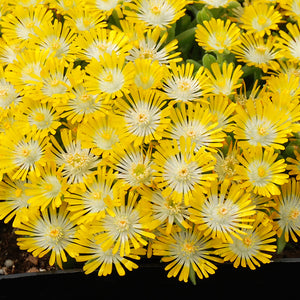 Delosperma Hot Cakes® 'Banana Blast' (Ice Plant) 1.5 gallon