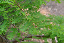 Load image into Gallery viewer, Metasequoia glyptostroboides (Dawn Redwood) 15 gallon