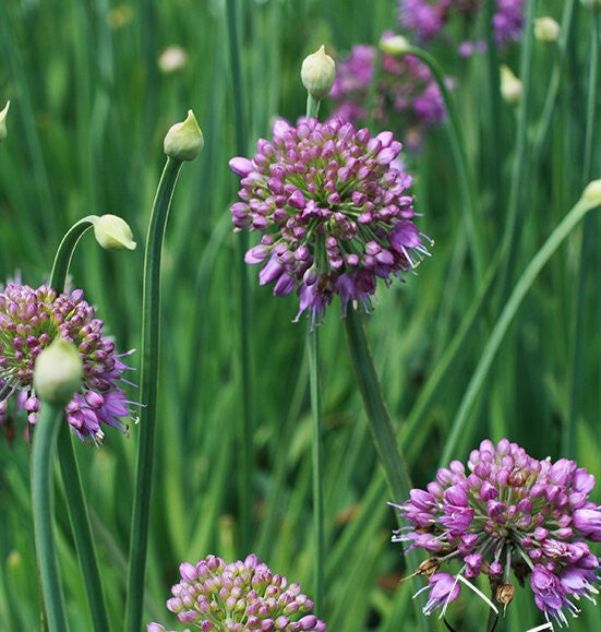 Allium 'Medusa' 2 gallon