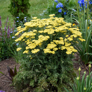 Achillea 'Firefly Sunshine' (Yarrow) 1 gallon