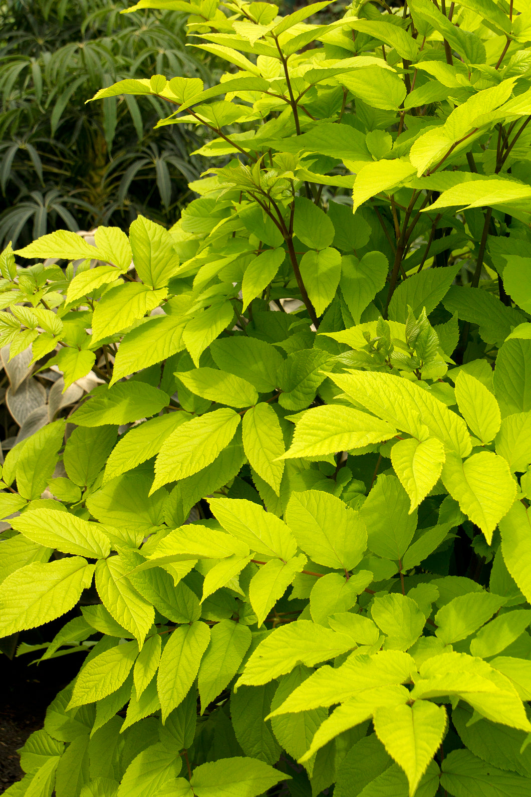 Aralia cordata 'Sun King' (Spikenard) 2.5 gallon