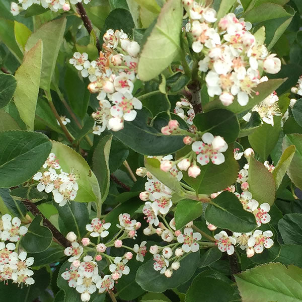 Aronia  melanocarpa 'Low Scape Hedger' (Chokeberry) 3 gal