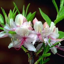Load image into Gallery viewer, Azalea periclymenoides 2 gal