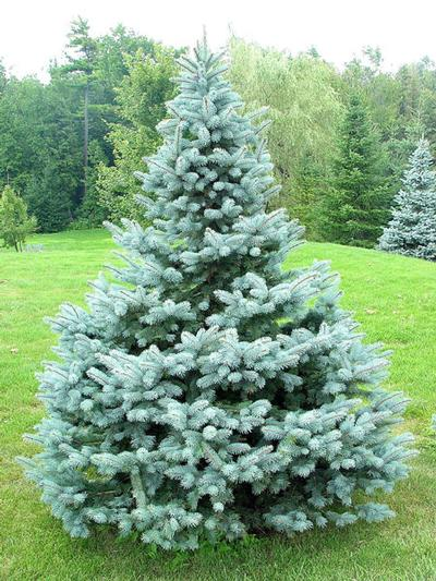 Picea pungens 'Baby Blue' (Blue Spruce)