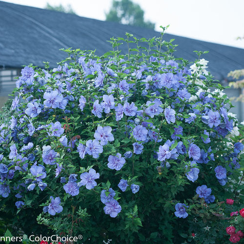Hibiscus syriacus (Rose of Sharon) 'Blue Chiffon' 3 gallon