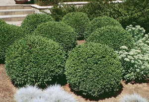 Buxus (Boxwood) 'Green Gem' 2 gallon