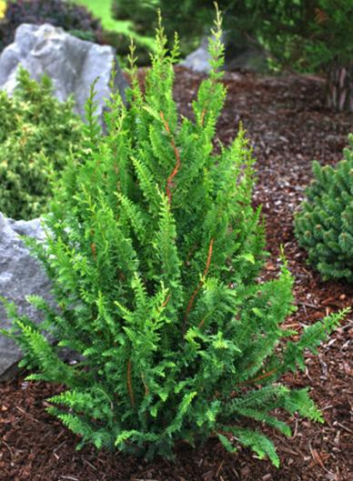 Chamaecyparis obtusa 'Filicoides' (Hinoki Cypress) 2.5 gallon