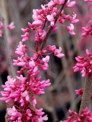 Cercis canadensis (Red Bud) 3 gal