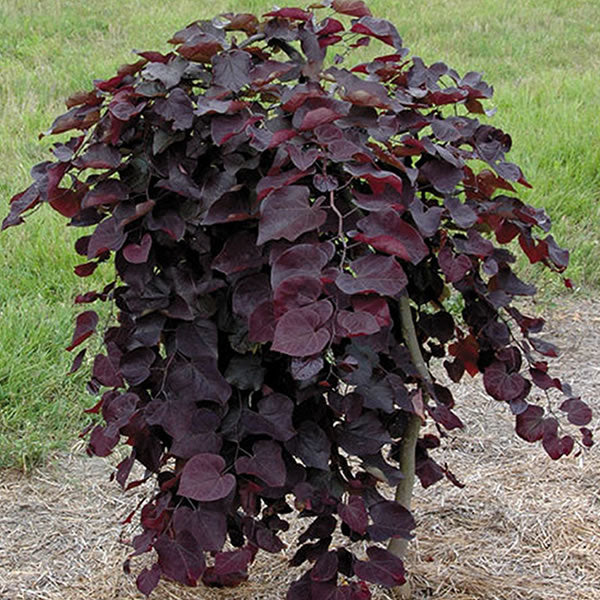 Cercis (Redbud) canadensis 'Ruby Falls', weeping 10 gal