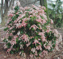 Load image into Gallery viewer, Pieris japonica 'Dorothy Wycoff' 2.5 gallon