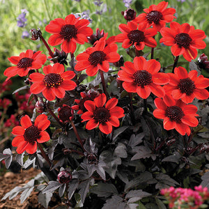 Dahlia tuber 'Pulp Fiction' 1/pk