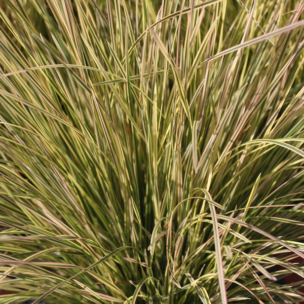 Deschampsia (Tufted Hair Grass) espitosa 'Northern Lights' 1.5 gal