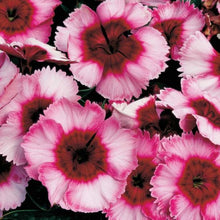 Load image into Gallery viewer, Dianthus 4""