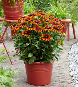 Echibeckia 'Summerina Orange' 1.5 gallon