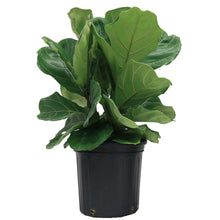 Load image into Gallery viewer, Ficus Lyrata 10""