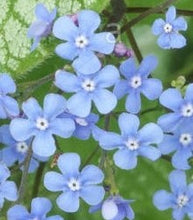 Load image into Gallery viewer, Brunnera macrophylla 'Alexander's Great' (Siberian bugloss) 1.5 gallon