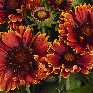 Gaillardia 'Spintop Yellow Touch' (Blanketflower) 1.5 gallon