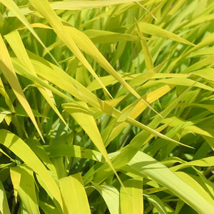 Hakonechloa (Japenese Forest Grass' macra 'All Gold'
