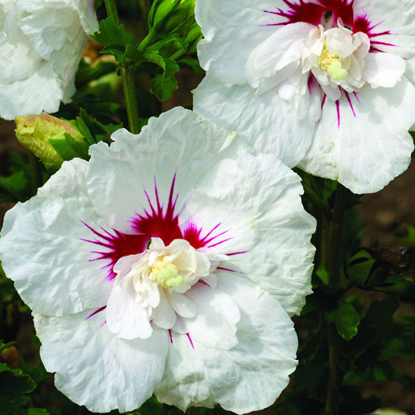 Hibiscus (Rose of Sharon) 'First Editions Bali' 3 gallon