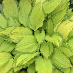 Hosta 'Island Breeze' 1.5 gallon