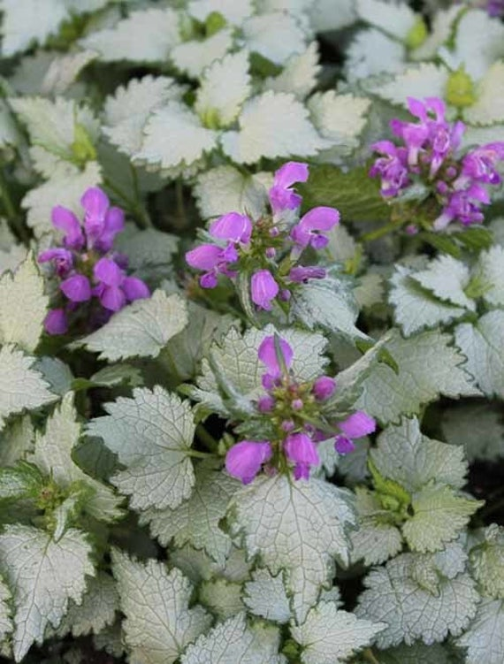 Lamium maculatum 'Ghost' (Spotted Deadnettle) 2 gallon