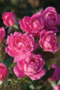 Rose, Double Pink Knockout 3 gallon