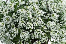 Load image into Gallery viewer, Lobularia Grower's Choice 4.5""