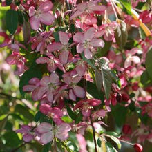 Load image into Gallery viewer, Malus (Crabapple) 'Ruby Tears', weeping 15 gal