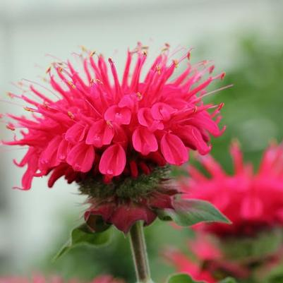 Monarda (Bee Balm) 'Bee You Bee Happy' 8