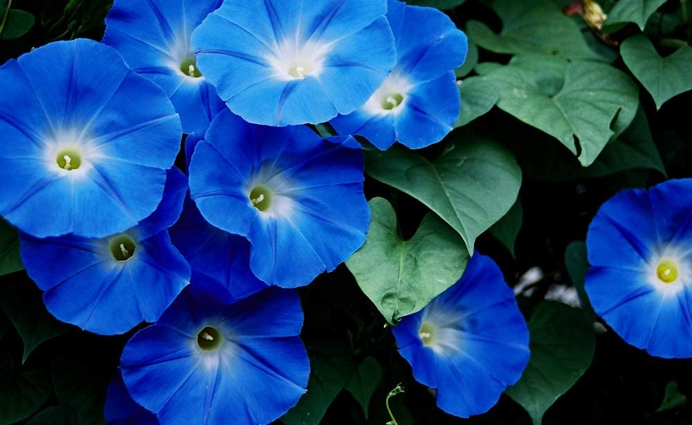 Morning Glory - Heavenly Blue 4