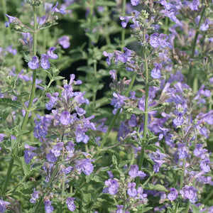 Nepeta 'Blue Wonder' (Catmint) 2 gallon