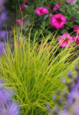 Pennisetum aloopecuroides 'Lumen Gold' (Fountain Grass) 1 gallon