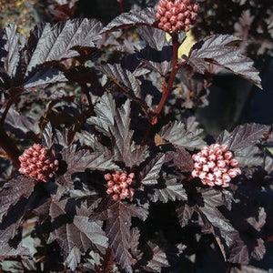 Physocarpus 'Panther' 3 gallon