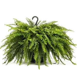 "Boston Fern 10"" Hanging Basket"