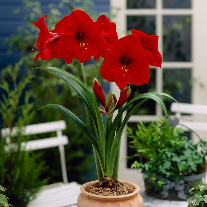 Amaryllis 'Red Lion' bulb