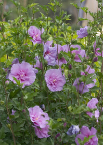 Hibiscus syriacus (Rose of Sharon) 'Lavender Chiffon' 3 gallon