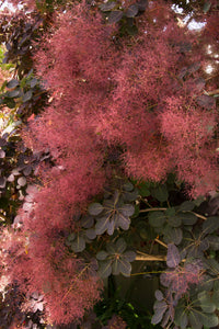 Cotinus 'Royal Purple' (Smoke Bush) 3 gallon