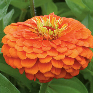 Zinnias, Benary's Giant