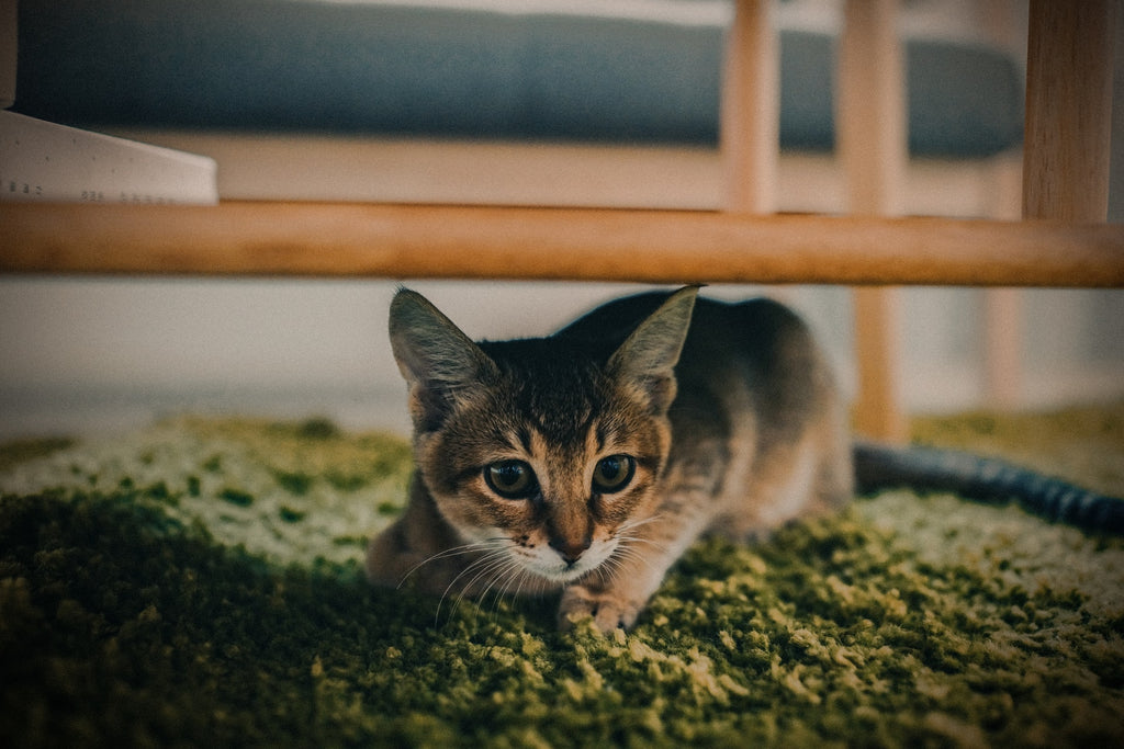 small-cat-on-green-wool-rug