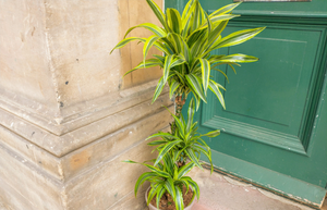 Lemon & Lime Dracaena