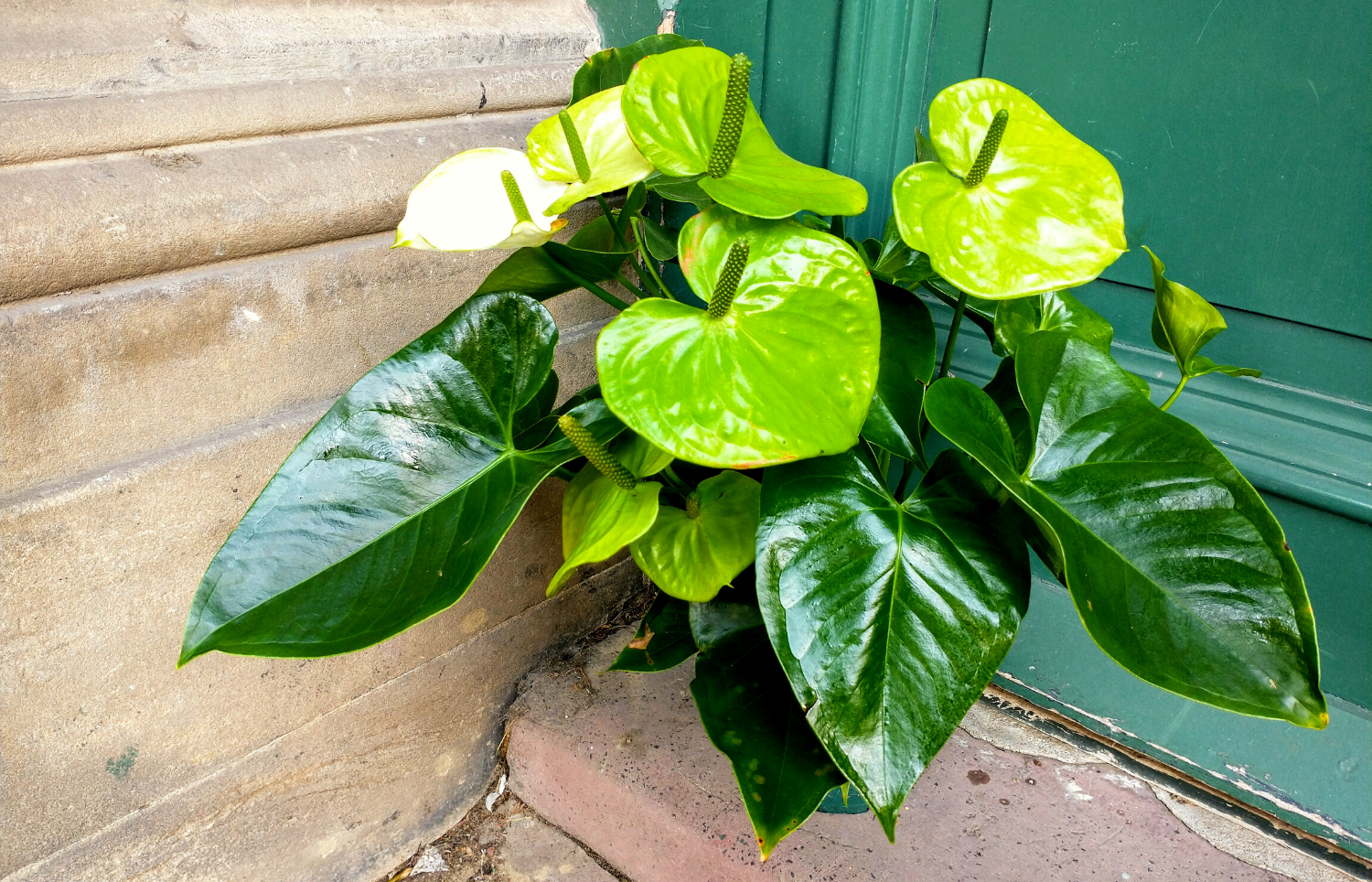 Lime Green Anthurium