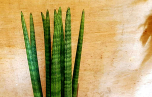 Striped Sansevieria